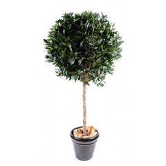 Ficus Topiary