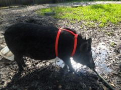 ADJUSTABLE PIG OR HOG HARNESS