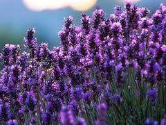 Lavender-Rosemary Olive Oil