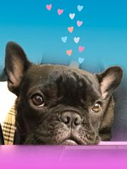 Birthday Card: Cute French Bull Dog with Hearts - Item# GC B FBD