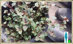 Ruby Green Leaves