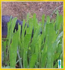 Cobra Grass