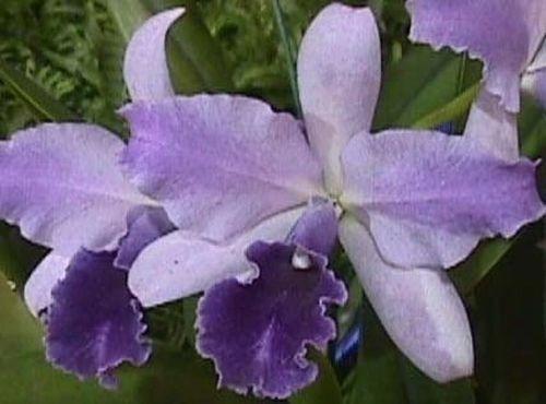 Lc. Mary Elizabeth Bohn 'Royal Flame' AM/AOS produces lovely blue flowers