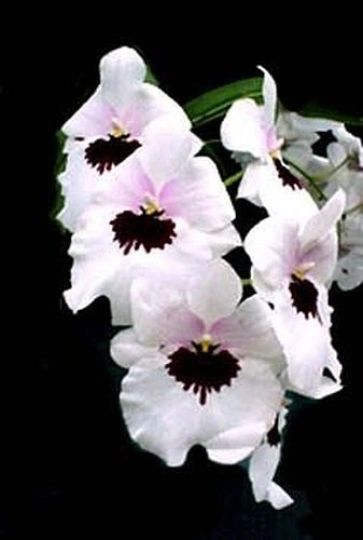 Miltoniopsis Lillian Nakamoto pansy orchid in spike now