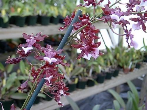 Sharry Baby, the Chocolate orchid, in spike