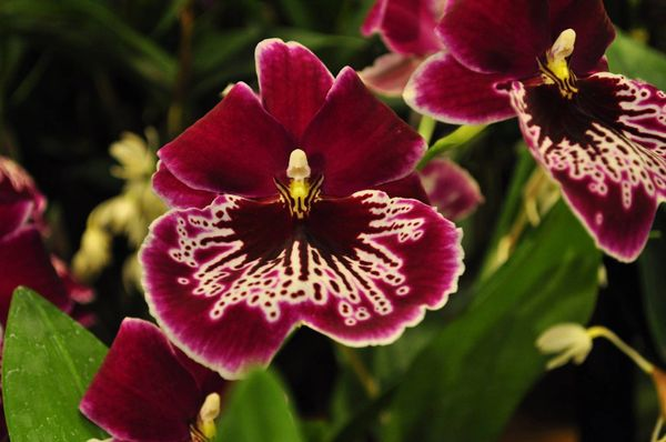 Miltoniopsis Morris Chestnut 'No. 6' in spike now