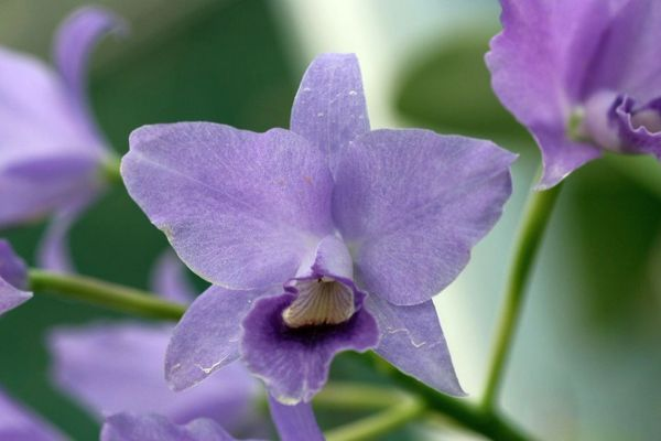 Cattleya (Guarianthe) bowringiana var. coerulea