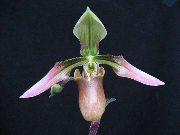 In bud now! Paphiopedilum appletonianum species orchid