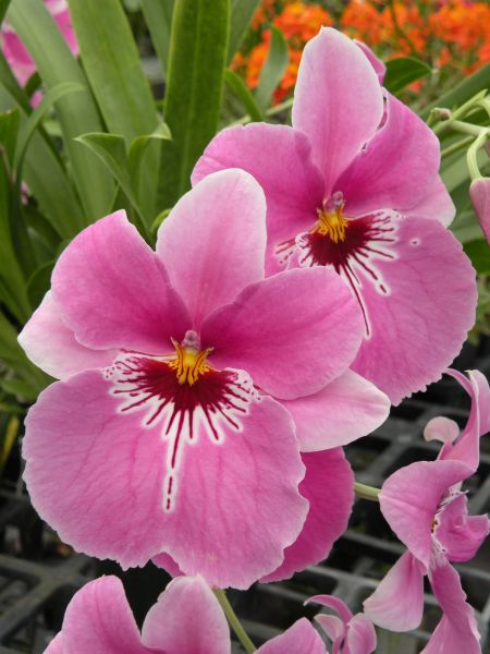 In the Pink! Miltoniopsis Lover's Point orchid in spike now