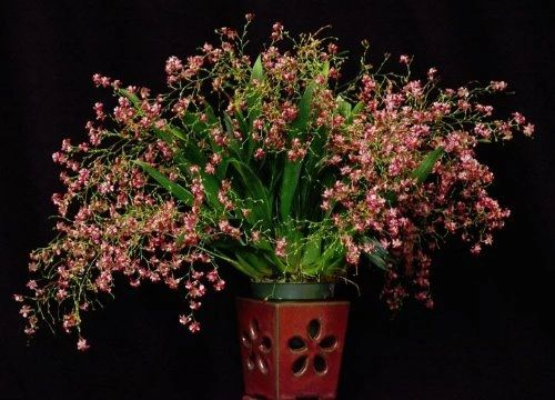 Oncidium Twinkle 'Pink Profusion' orchid seedling a miniature