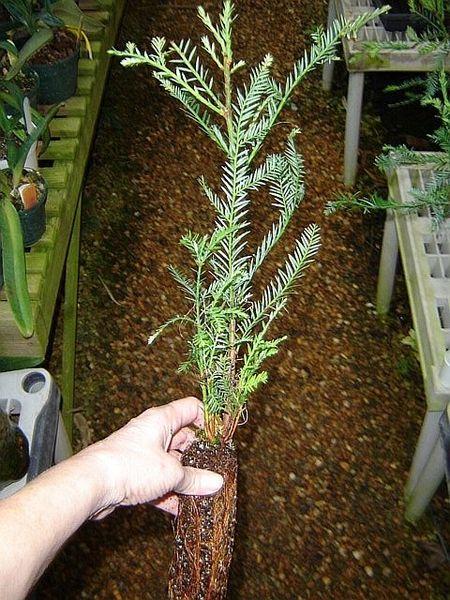 Large California redwood tree start