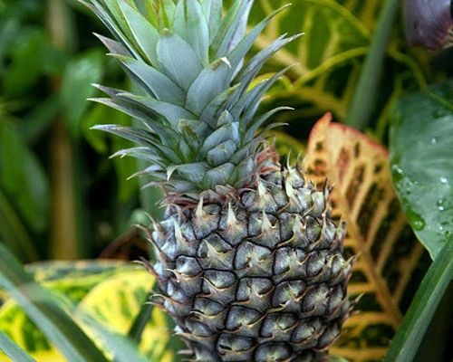 Baby pineapple plant in 3.5 inch pot, Ananas comosus