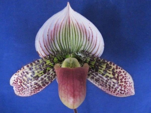 Lovely maudiae type ladyslipper orchid in bud