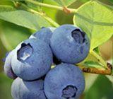 Blueberry Tea 100% Organic