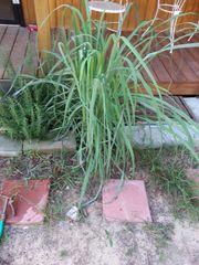 Lemongrass Bulk ounce