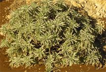 "California White Sage Smudge Stick 7-9"" long"