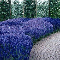 SALVIA - Blue Queen