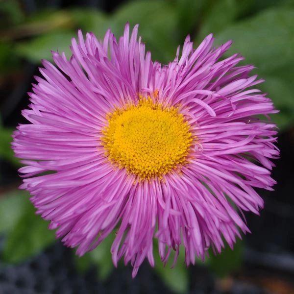 ERIGERON - Pink Jewel