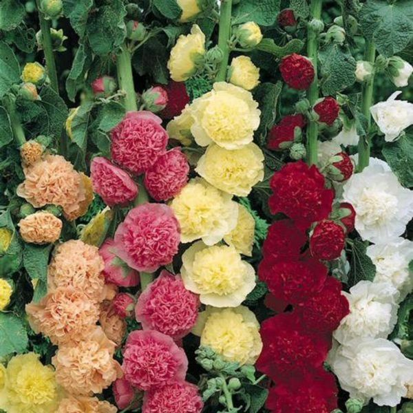 HOLLYHOCK - Chaters Double Mixed