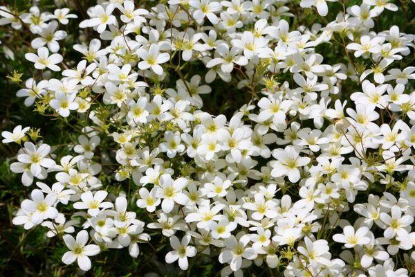 SAXIFRAGA - Mossy White