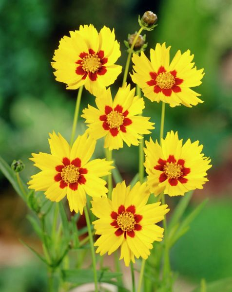 COREOPSIS - Baby Gold