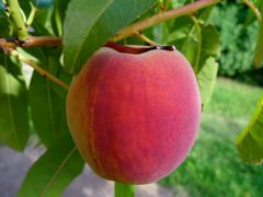 Early Redhaven Peach (5-7')