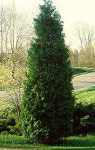 """Northern White Cedar (x5) (18-24"""")"""