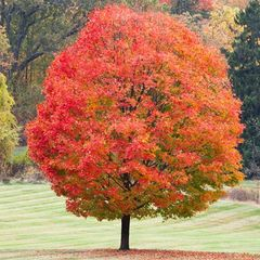Sugar Maple (1-2')