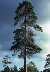 "Red Pine Transplant (x5) (15""+)"