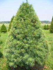 "White Pine Transplant (x100) (9-15"")"