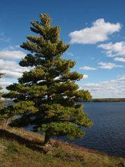 "White Pine Seedlings (x25) (4-9"")"