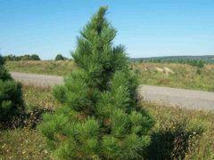 """Red Pine Seedlings (x100) (6-12"""")"""