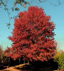 Red Maple (2-3')
