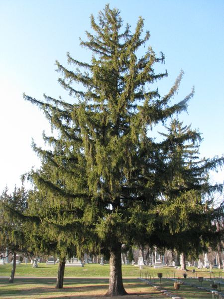 "Norway Spruce Seedlings (x50) (5-10"")"