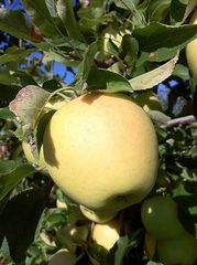 Gibson Golden Apple (4-6')
