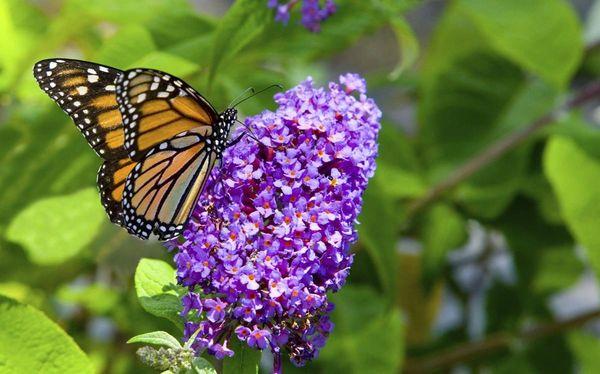 Butterfly Bush (x5)