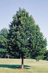 American Basswood (1-2')
