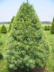 "White Pine Transplant (x5) (9-15"")"