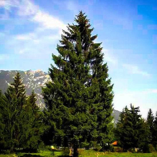 Norway Spruce Transplant (x10) (2'+)