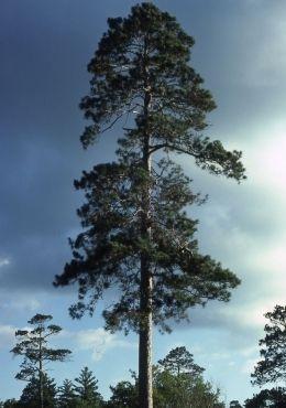 Red Pine Transplant (3-0)
