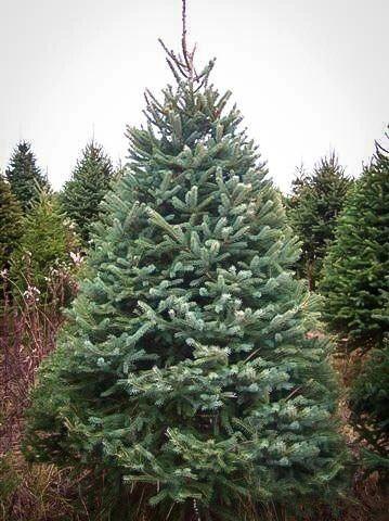 White Spruce Transplant (2'+)