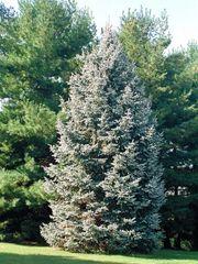 """White Spruce Seedlings (x50) (5-10"""")"""