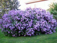"Lilac Bush (x5) (10-18"")"
