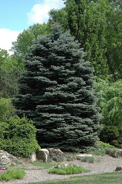 "Blue Spruce Seedling (x25) (5-10"")"