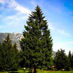 Norway Spruce Transplant (x100) (2'+)
