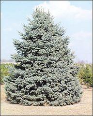 Colorado Blue Spruce Transplant (x25) (2'+)