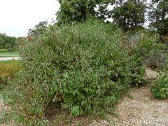 Silky Dogwood (x100) (1-2')
