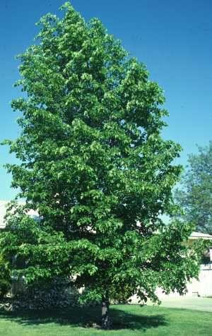 Hybrid Poplar (2-3')