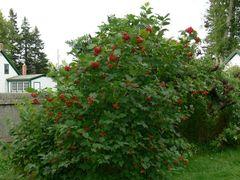 Highbush Cranberry (x25) (1-2')