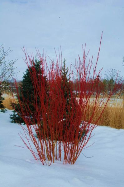 Red Osier Dogwood (x25) (1-2')